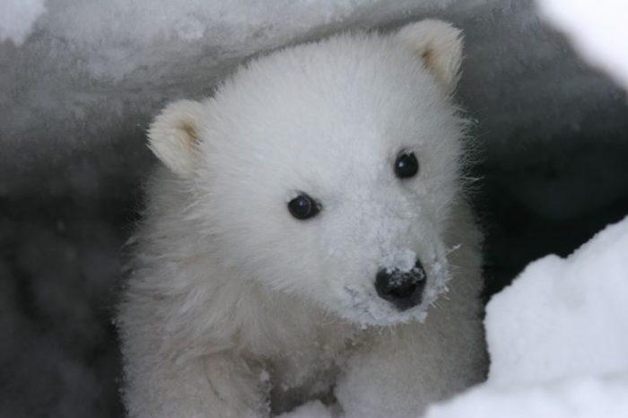 Illustratie bij de witte ijsbeer